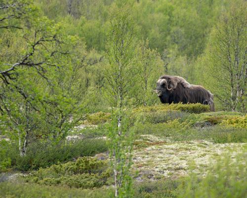 Vandring Fokstugu – Hjerkinn Fjellstue (F, ML, M)